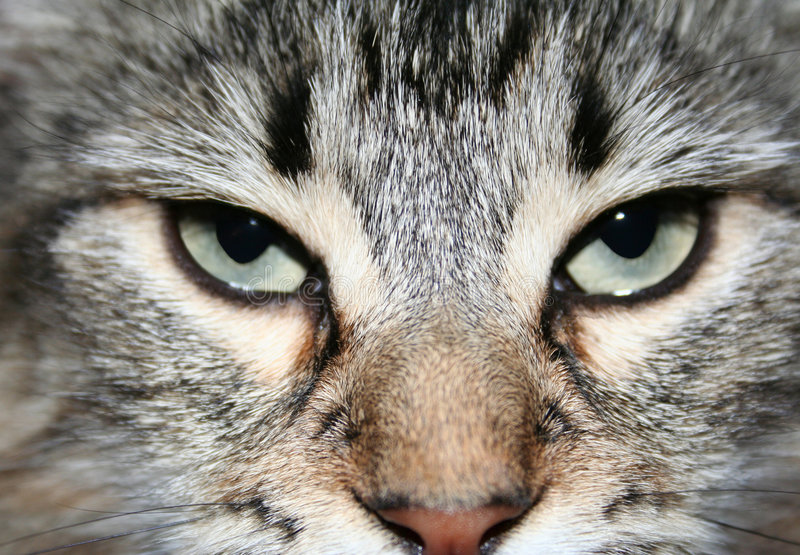 Cats face royalty free stock photography