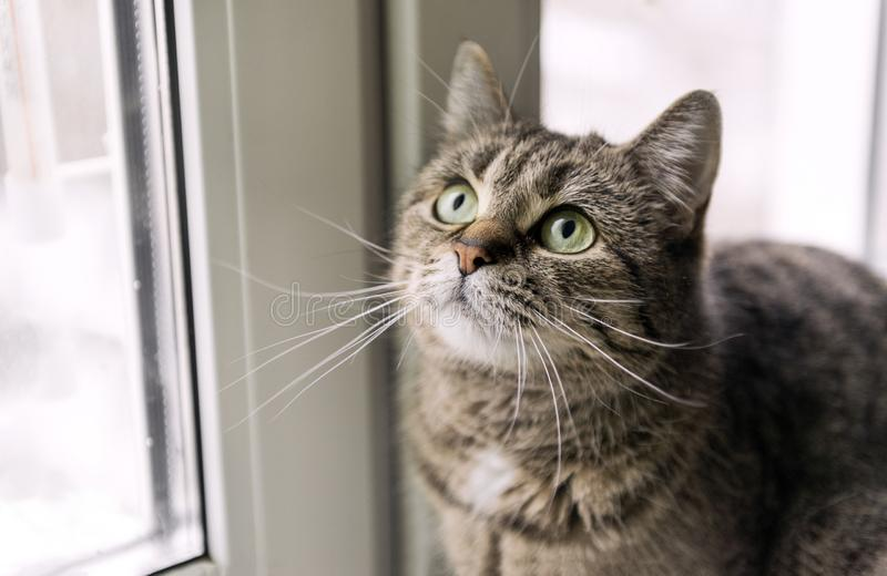 Cats face with a mustache near the window, the cat looks up, eyes, hair, pet. Animal stock photo