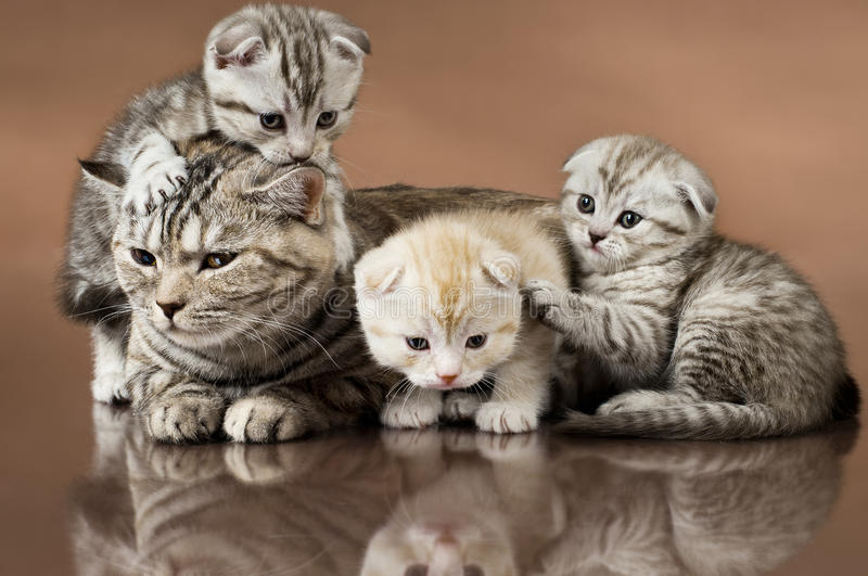Cats. Family group of three kitten with mother, breed scottish-fold, lie on brown background royalty free stock photo