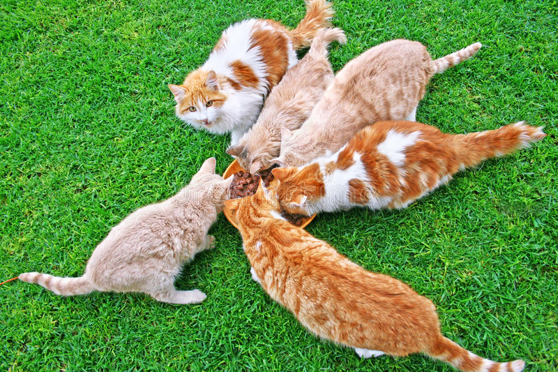 Cats Feeding Stock Images