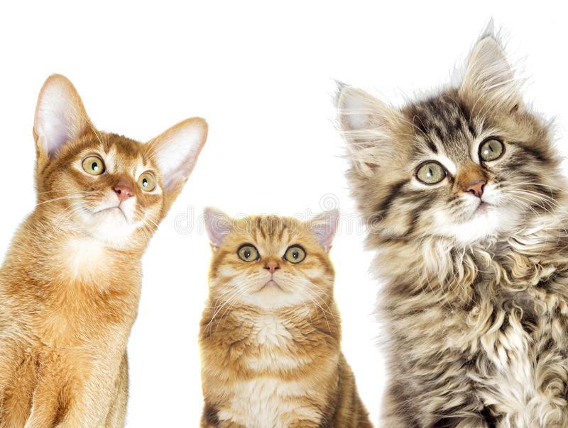 Cats group. Looking on a white background royalty free stock photo