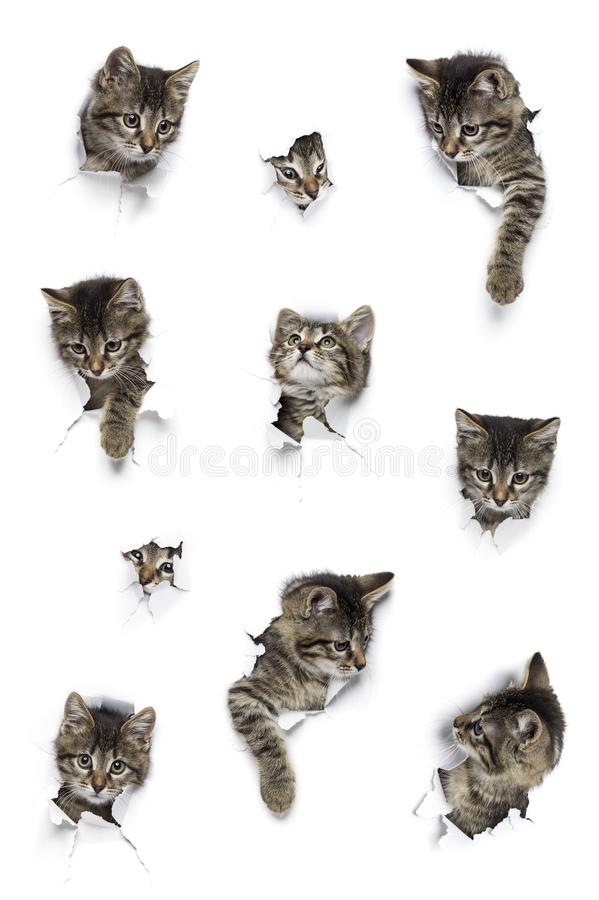Cats in holes of paper. Kittens in holes of paper, little grey tabby cats peeking out of torn white background, ten funny playing pets stock image