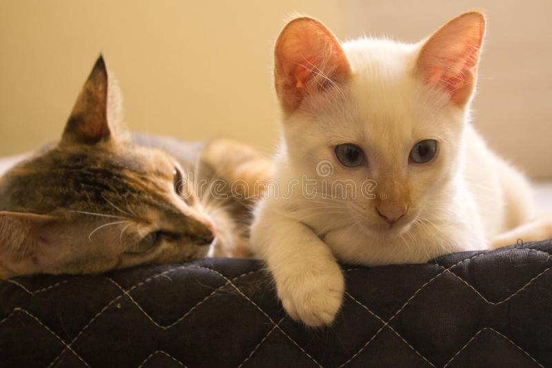 Cats looks over a bed. Cute cats looking down. Cute domestic cats resting on a bed. Lovely pets royalty free stock photo
