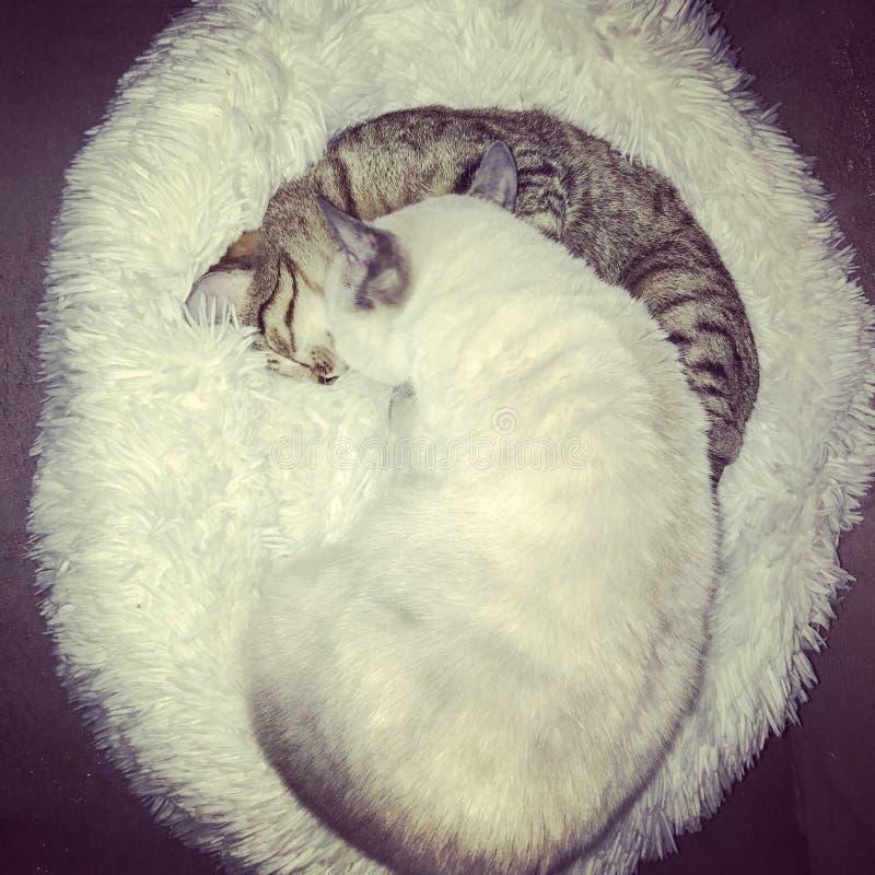 Cats Love. Une grosse memère de 3 ans prenant soin d& x27;un petite poupée d& x27;1 an stock photo