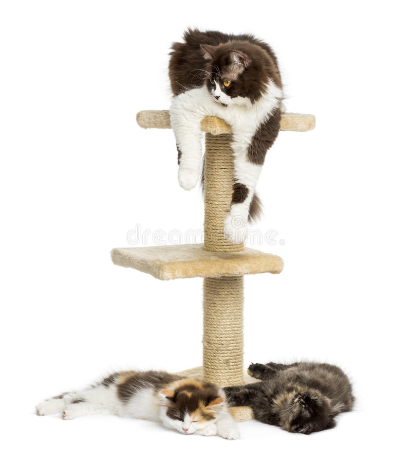 Cats lying around and on a cat tree, isolated. On white stock images