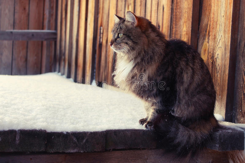Cats are the most favorite Pets for many people. This cat sits in the barn and hunts birds royalty free stock image