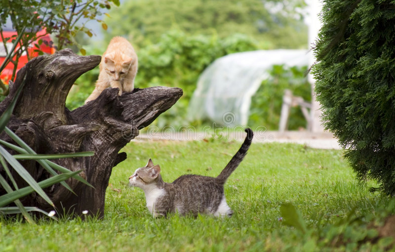 Cats playing stock image