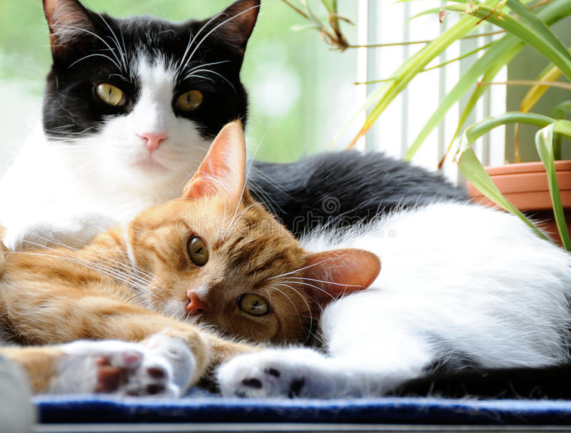 Cats snuggling together. Two cute domestic short hair cats snuggle with one another in a window