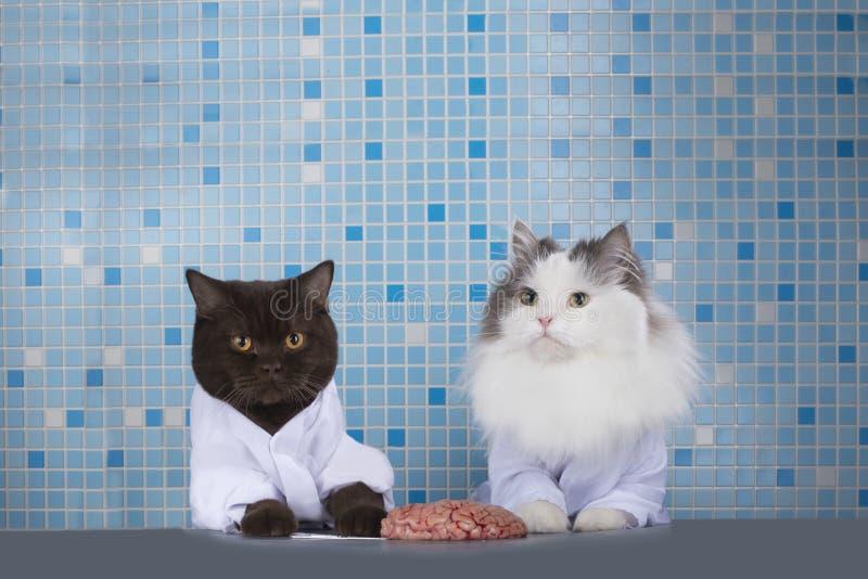 Cats surgeons discuss brain surgery.  royalty free stock photo