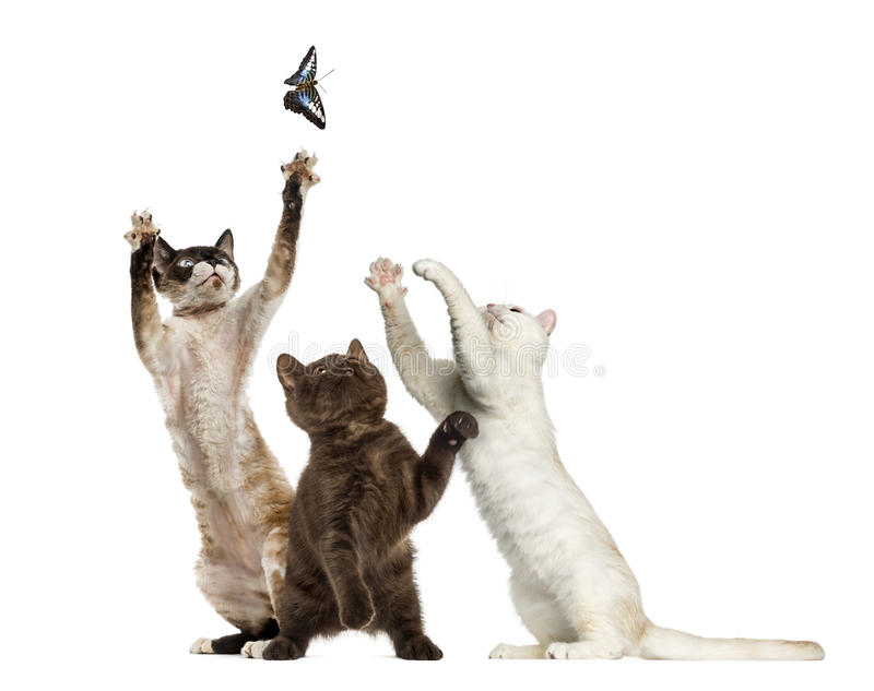 Cats trying to catch a butterfly, isolated. On white stock photo