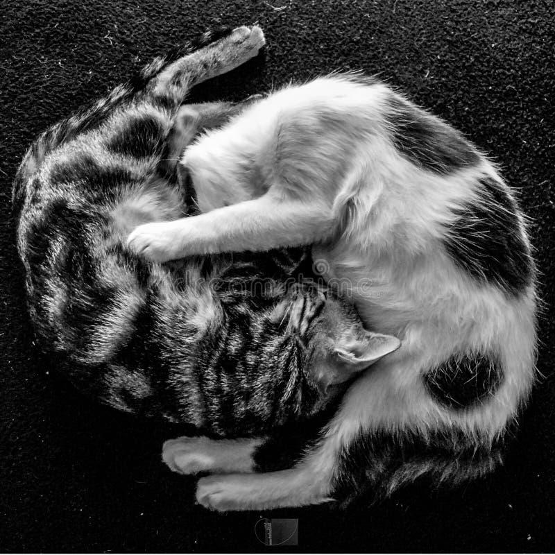 Cats yin yang royalty free stock image