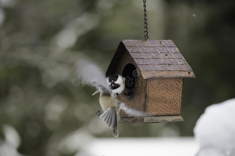 Catskill Chickadee stock images
