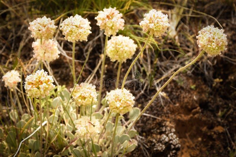 Catspaw vildblommor i Colorado royaltyfri fotografi