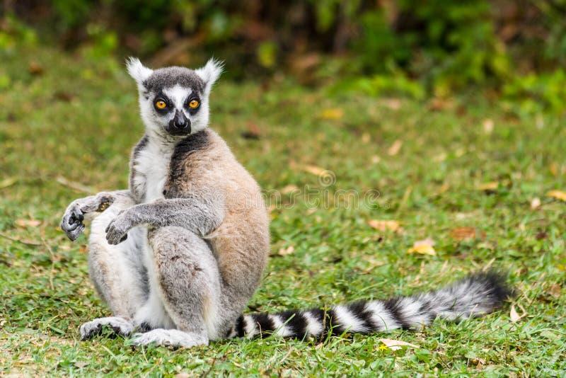 Catta лемура Мадагаскара стоковое изображение rf