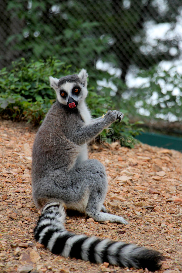 catta Anello-munito delle lemure del› del ¼ di Lemurï fotografia stock libera da diritti