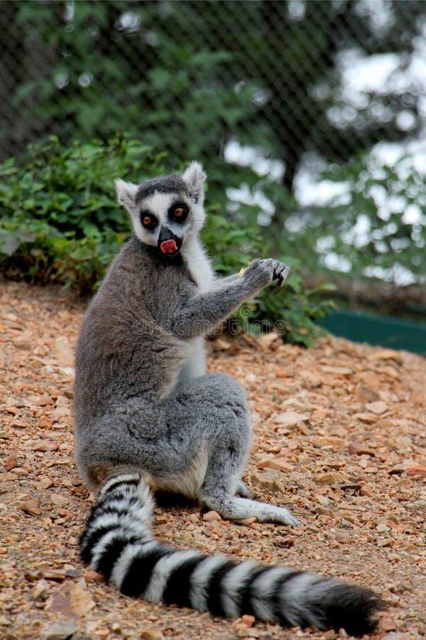 catta Anneau-coupé la queue de lémur de› de ¼ de Lemurï photographie stock libre de droits