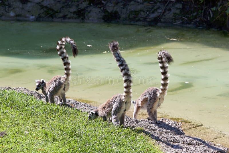 catta Anneau-coupé la queue de lémur de lémur photographie stock