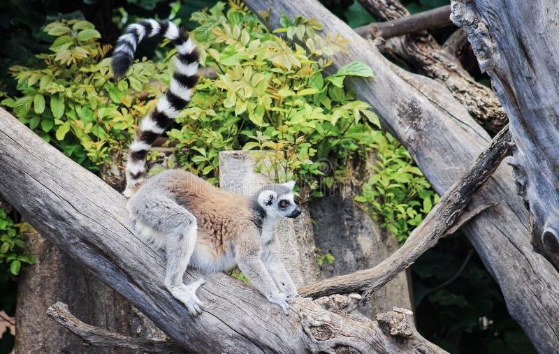 catta Anneau-coupé la queue de lémur de lémur photos libres de droits