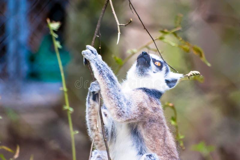 Catta de lémur montant et essayant d'attraper quelque chose de l'arbre, au parc zoologique photos stock