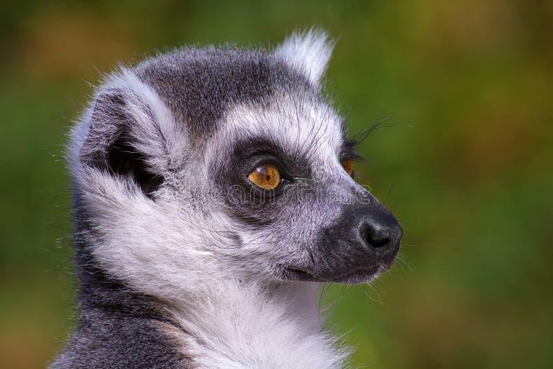 Catta del lémur fotografía de archivo libre de regalías