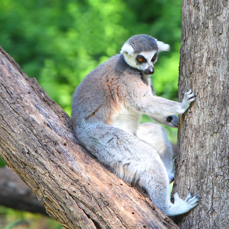 Catta del Lemur immagine stock