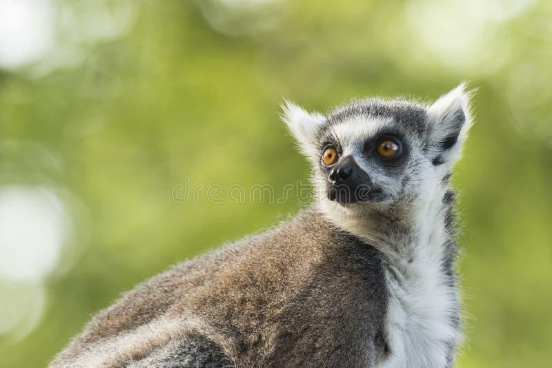Catta delle lemure delle lemure catta fotografie stock