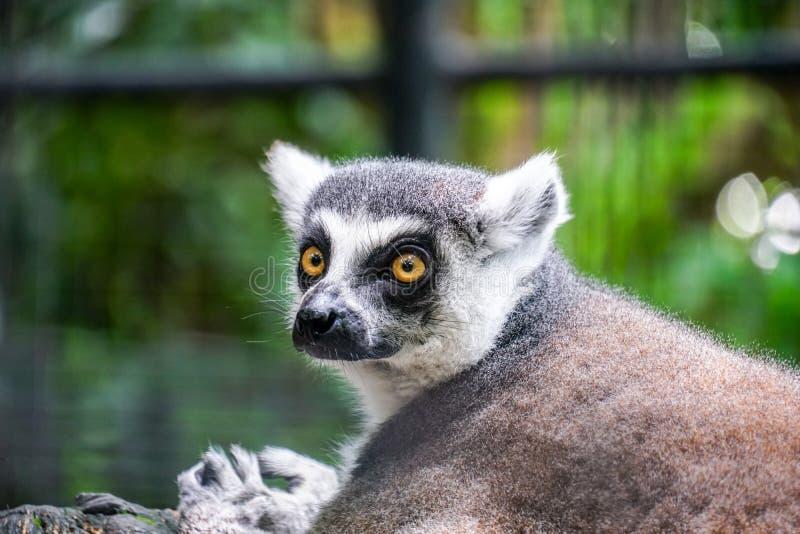 catta delle lemure - ritratto dell'animale nello zoo immagine stock libera da diritti