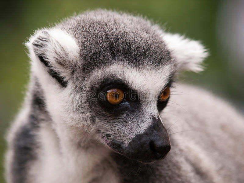 Catta delle lemure - testa delle lemure catta dal Madagascar fotografie stock