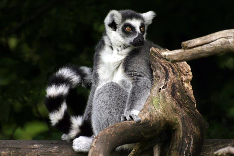 Catta do Lemur imagens de stock royalty free