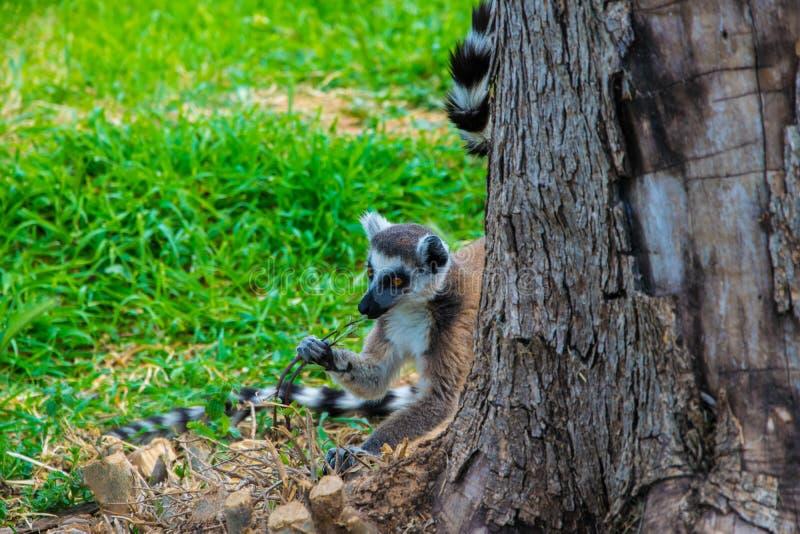 Catta espiègle mignon de lémur derrière un arbre mâchant un bâton images libres de droits
