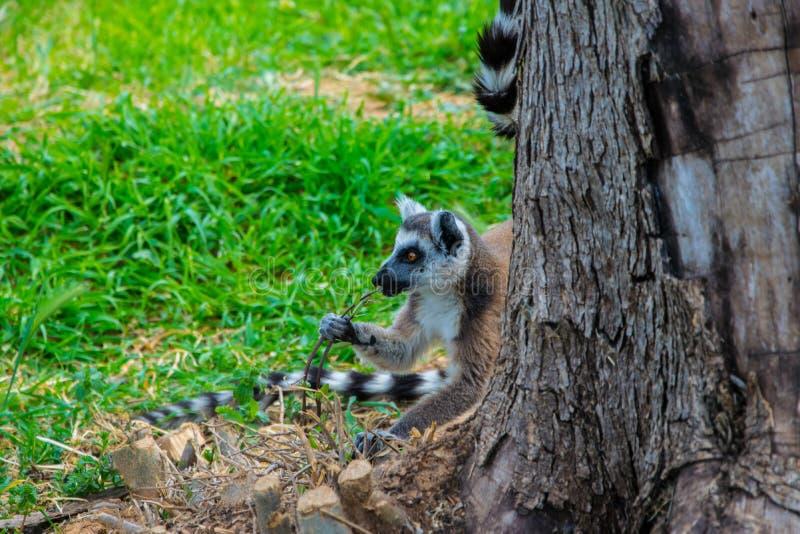 Catta espiègle mignon de lémur derrière un arbre mâchant un bâton photographie stock