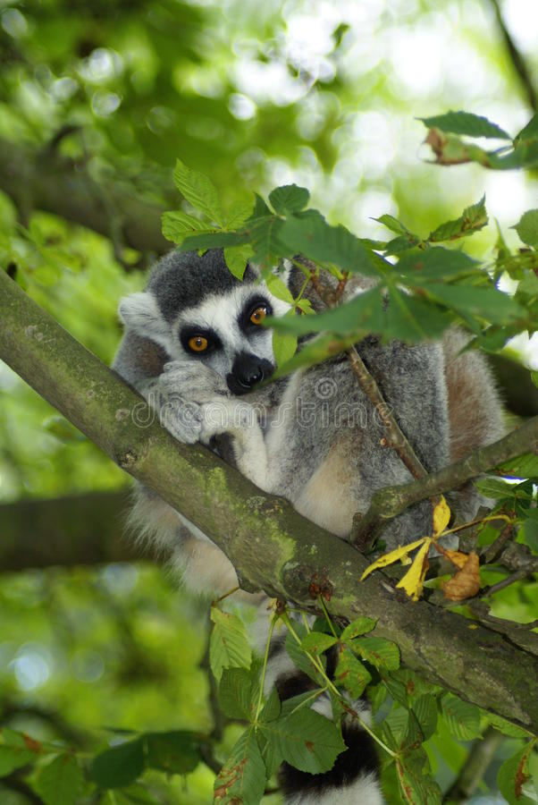 catta lemur obraz royalty free