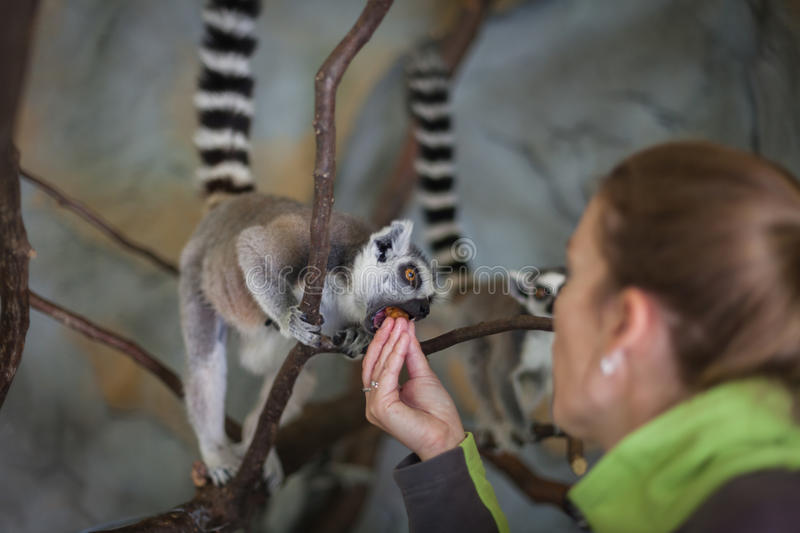 Catta lemur on a tree branch at the zoo stock image