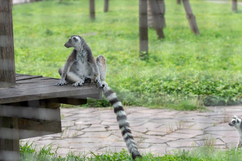 catta straddle-Anello-munito delle lemure-lemure immagini stock libere da diritti