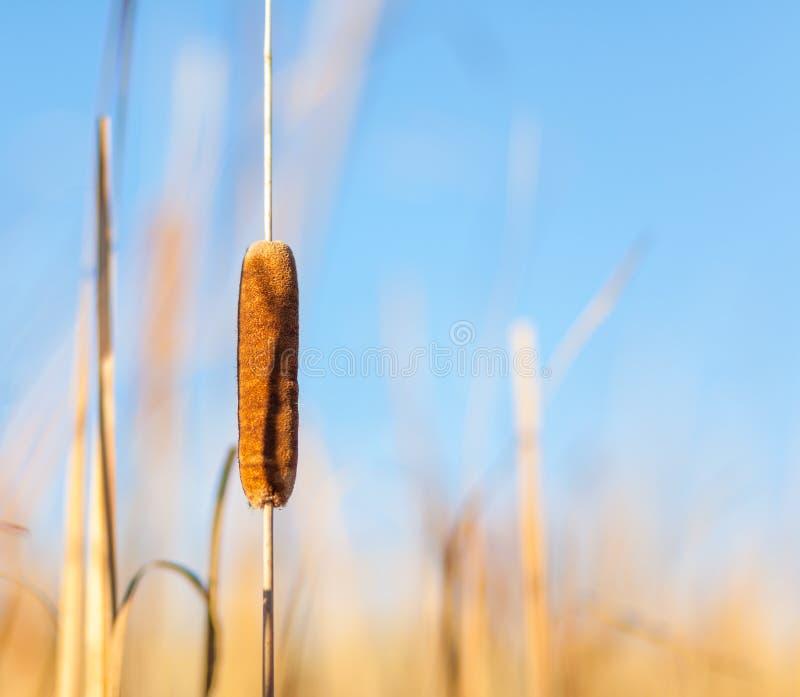 Cattail и тростники на заходе солнца стоковая фотография
