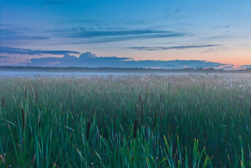 Cattail auf einem Gebiet bei Sonnenuntergang lizenzfreies stockfoto