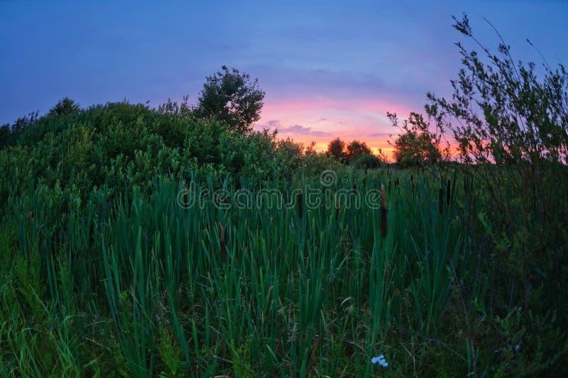 Cattail auf einem Gebiet bei Sonnenuntergang stockbild
