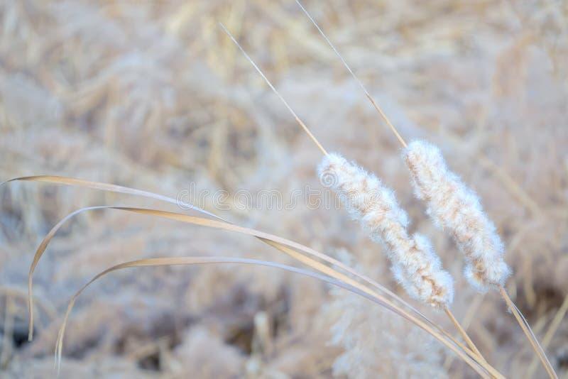 Cattail do inverno foto de stock