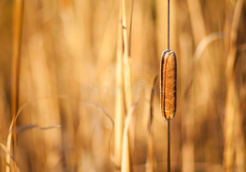 Cattail e canne al tramonto fotografia stock