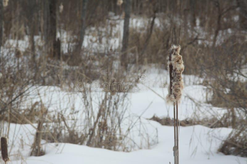 Cattail no campo nevado fotografia de stock royalty free