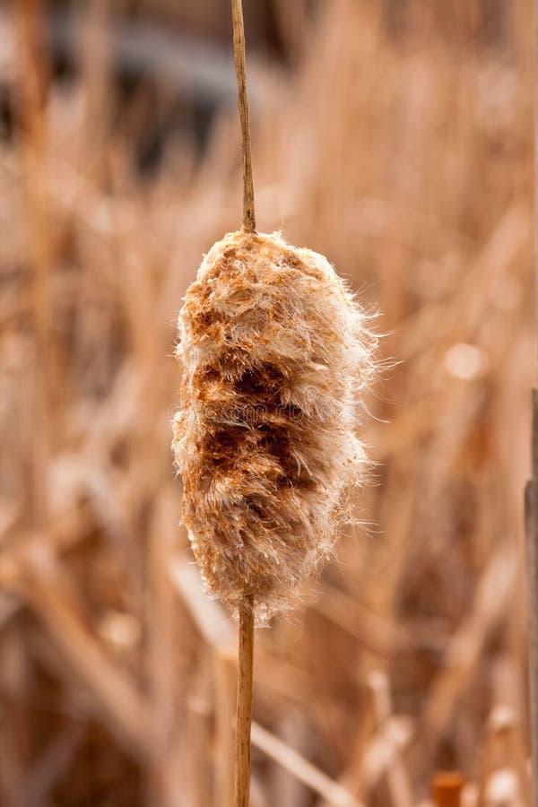 Cattail no inverno atrasado imagens de stock