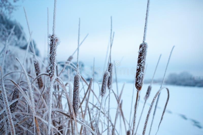 Cattail no inverno que cresce em uma lagoa congelada fotos de stock royalty free