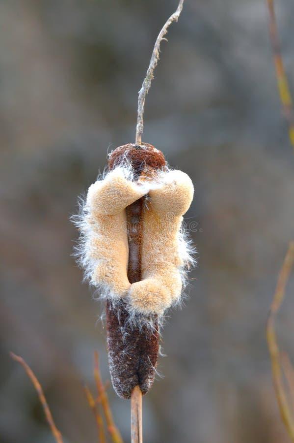 Cattail på våren royaltyfria foton