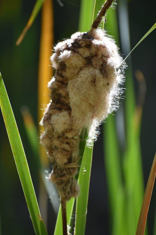 Cattail que semeia em Kathryn Albertson Park imagens de stock