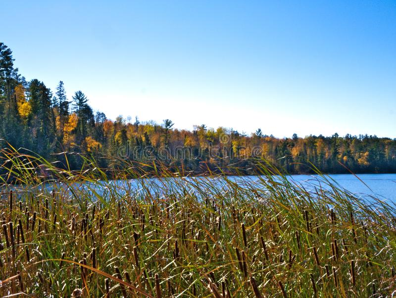 Cattail reeds on the shore of of a beautiful lake in Minnesota in autumn stock photography