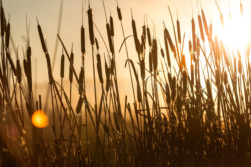 Cattail reeds in a swamp. With early morning sun behind them royalty free stock photo
