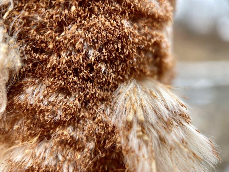 Cattail Typha Macro shot stock images