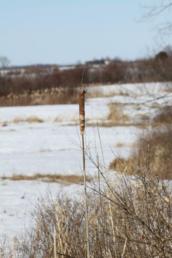Cattail (Typha) no inverno fotografia de stock