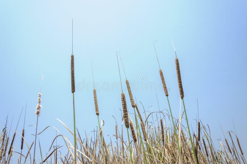 Cattail und blauer Himmel stockfoto