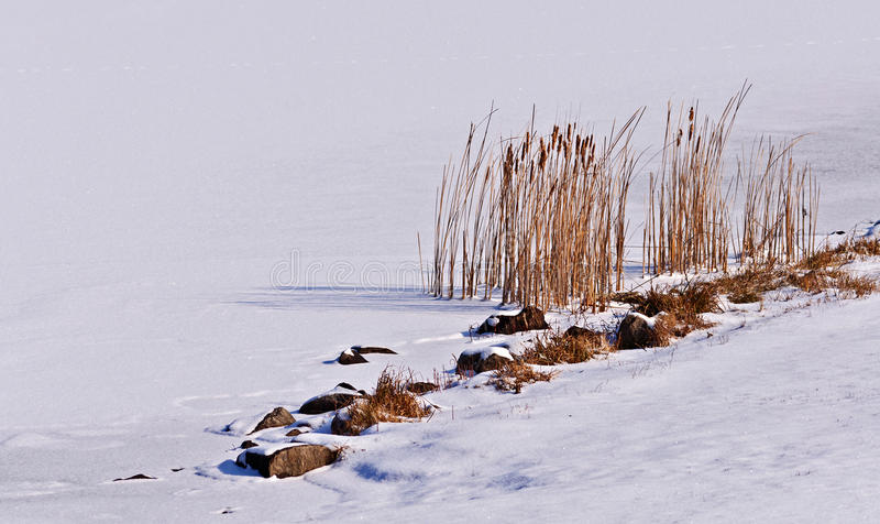 Cattails σε μια παγωμένη λίμνη στοκ εικόνα με δικαίωμα ελεύθερης χρήσης
